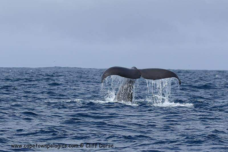 A photo, our guide (Cliff Dores) took of a Sperm Whale on our Pelagic Charter!