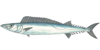 Cape Snoek Fish.png