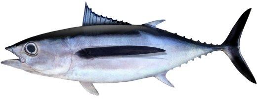 albacore (1).jpg