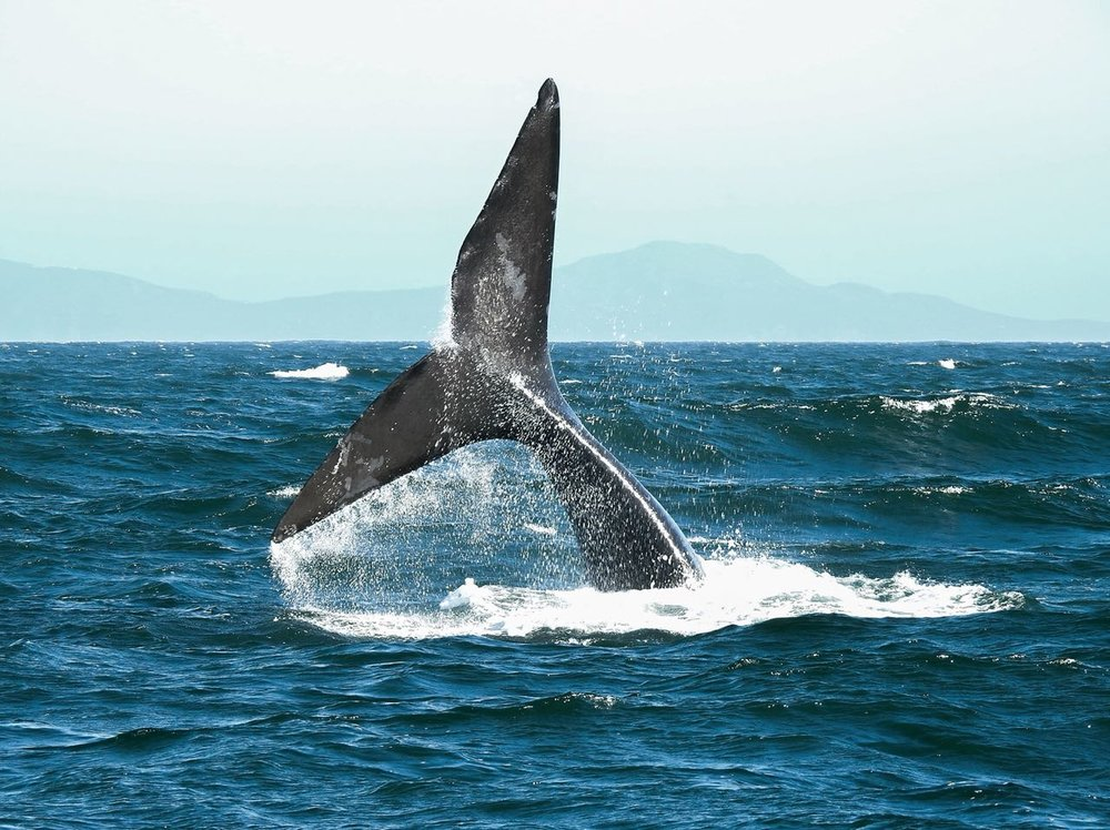 Souther Right Whale.jpg