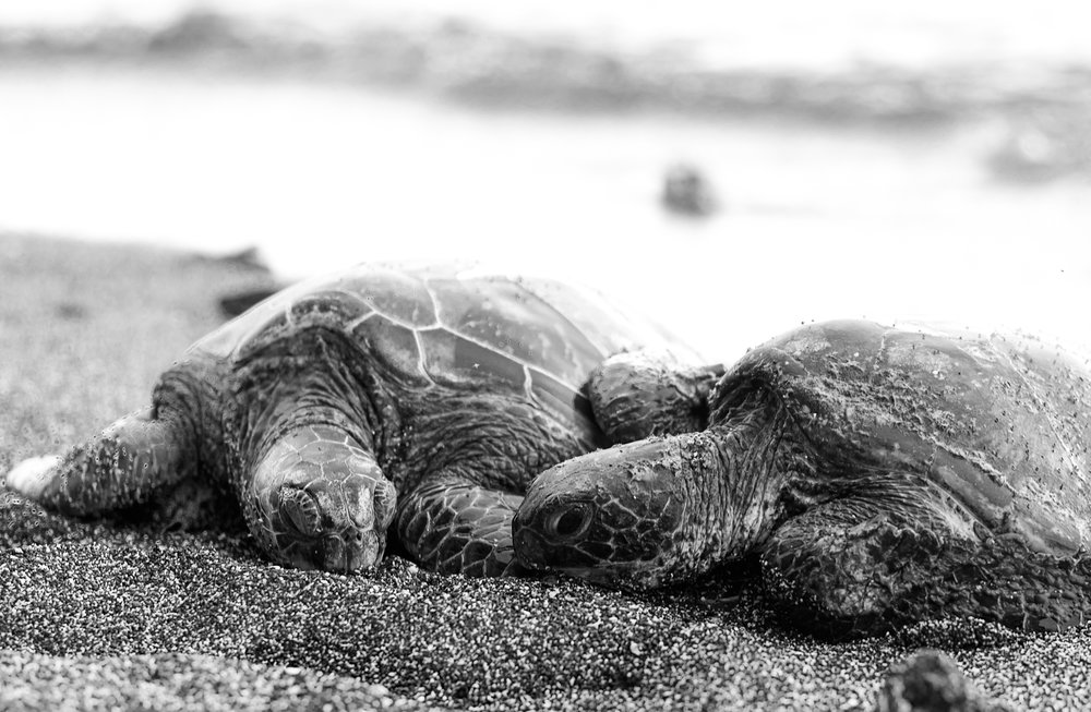turtle love bw (1 of 1).jpg