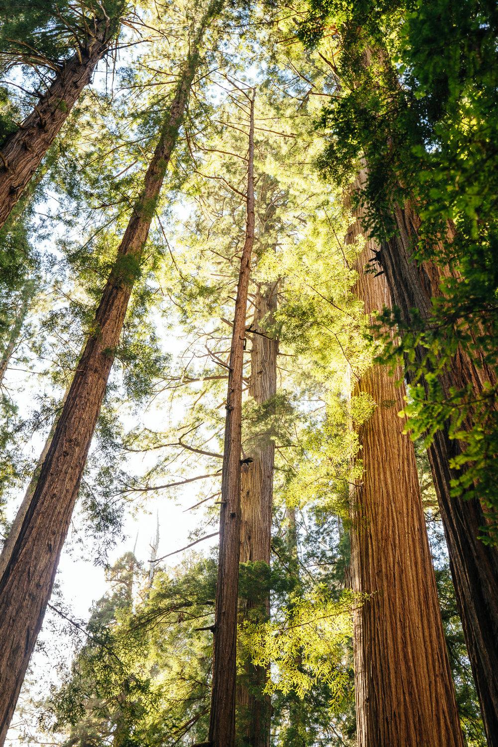 redwoods-111.jpg