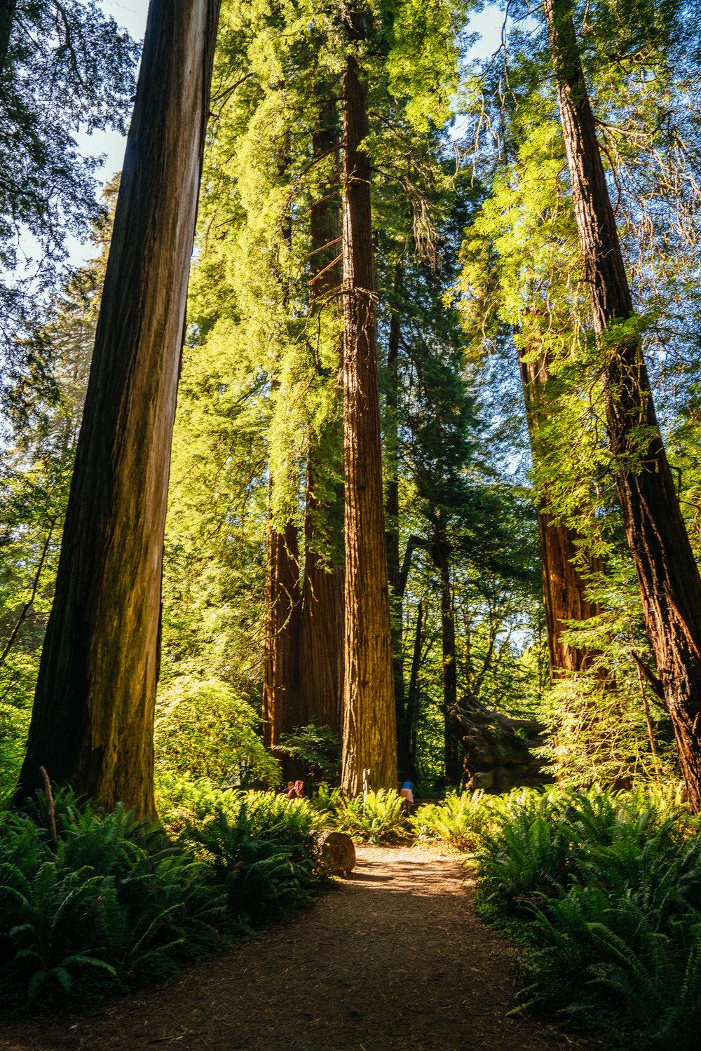 redwoods-112.jpg