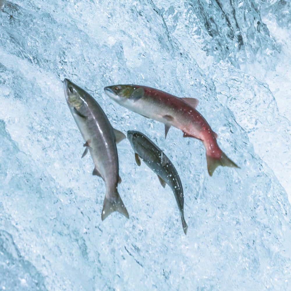 Bristol Bay, which the Brooks River runs into, produces 51% of the world's sockeye salmon. Different kinds of salmon run throughout the year; the timing of each run depends on water temperature and turbidity (the amount of glacial flour in the water).