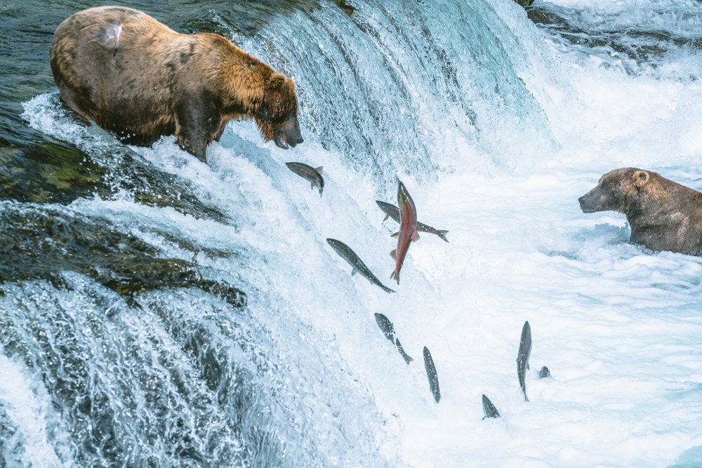 When Brooks Falls started to form, a genetic split developed in the salmon between those who could make it up the falls and those who couldn't. By August, most of the salmon below the falls were never genetically able to make the jump (which isn't to say they won't try.)
