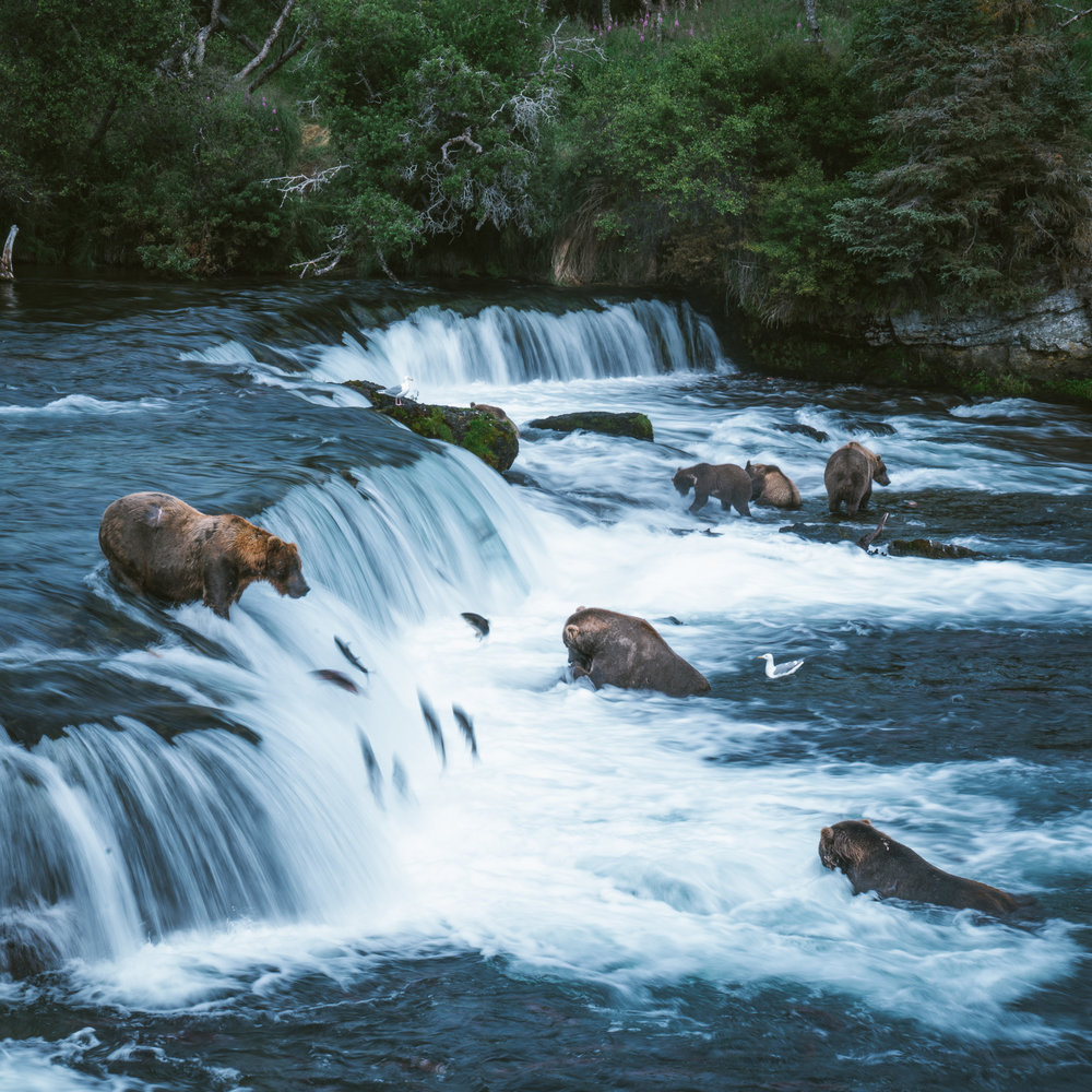 On the bottom right is our favorite bear, Otis. Elderly at 23, Otis sits in the jacuzzi below the falls and waits for the fish to come to him. He is beloved on the bear cam, and has a brewery named after him (Sad Bear Brewing; he appears on the label.)