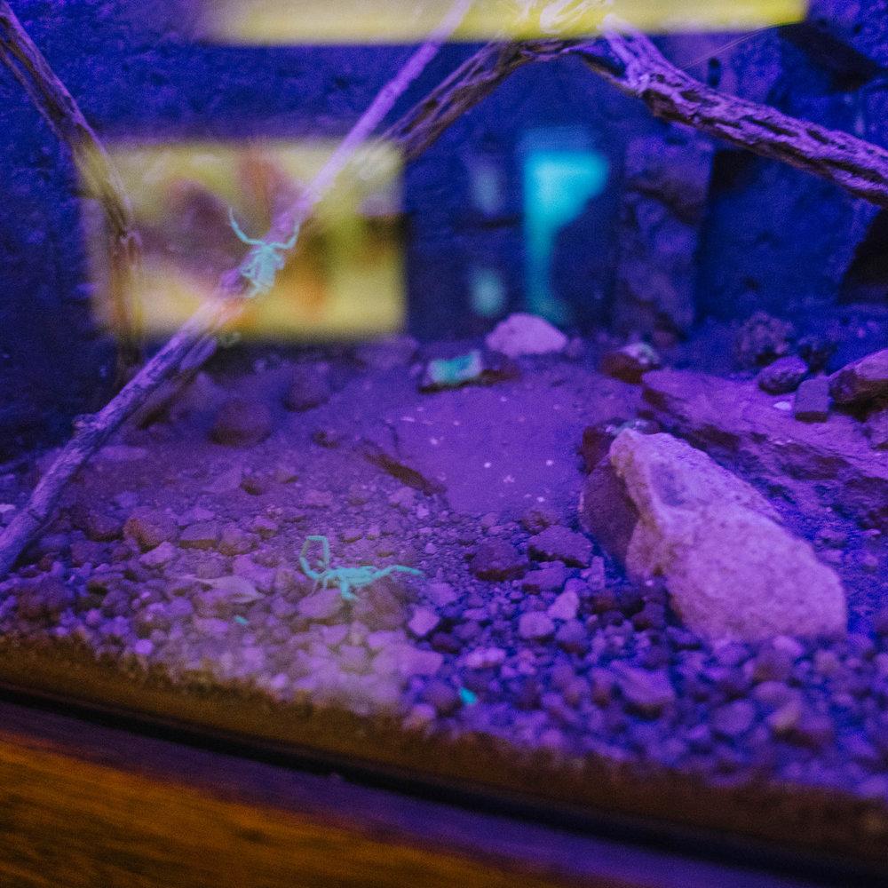 Glow-in-the-dark scorpions!