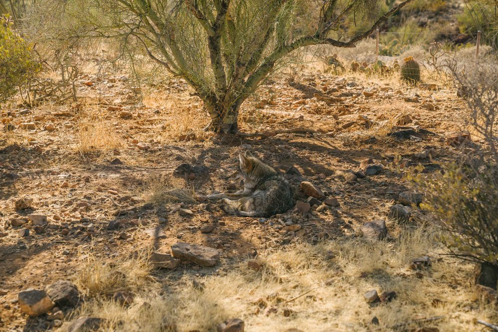 Coyotes! There's a net between us and it, but it was hard to see and the effect was that we were just hanging together in the desert :).