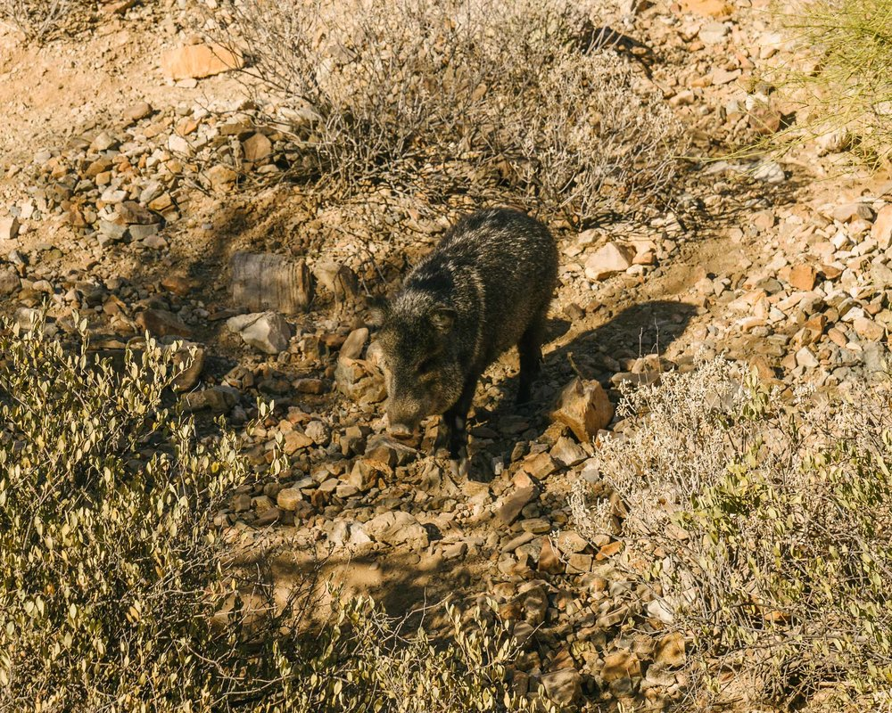 Javelinas! Not a pig. More closely related to a hippo, actually!