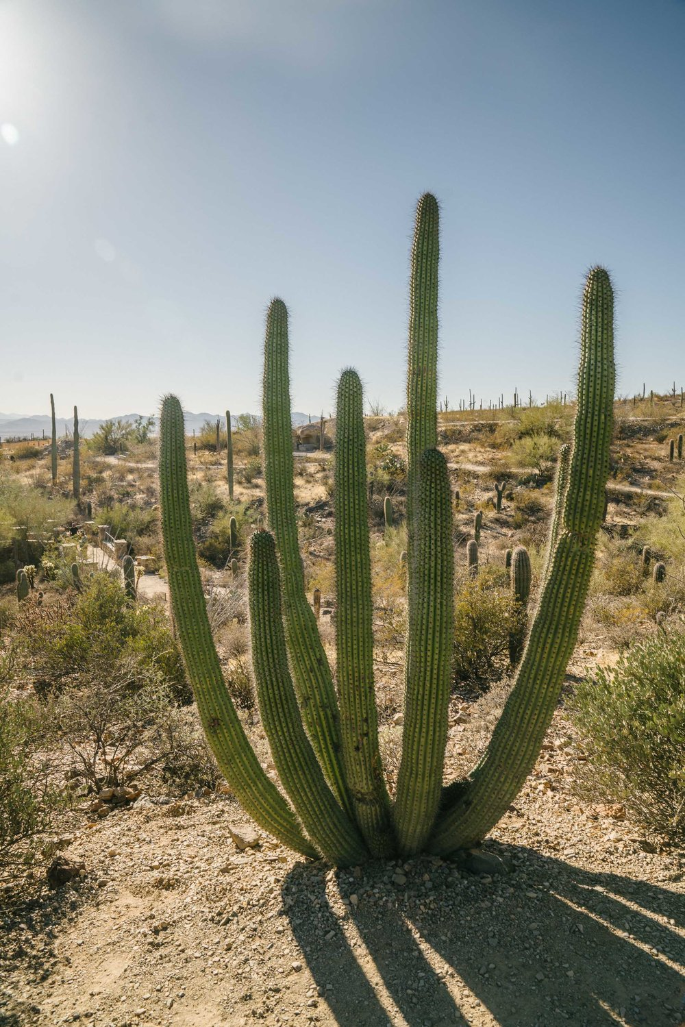 Organ pipe cactus! There's a whole national monument in Southern Arizona devoted to these babies, and we'd love to go check it out sometime!