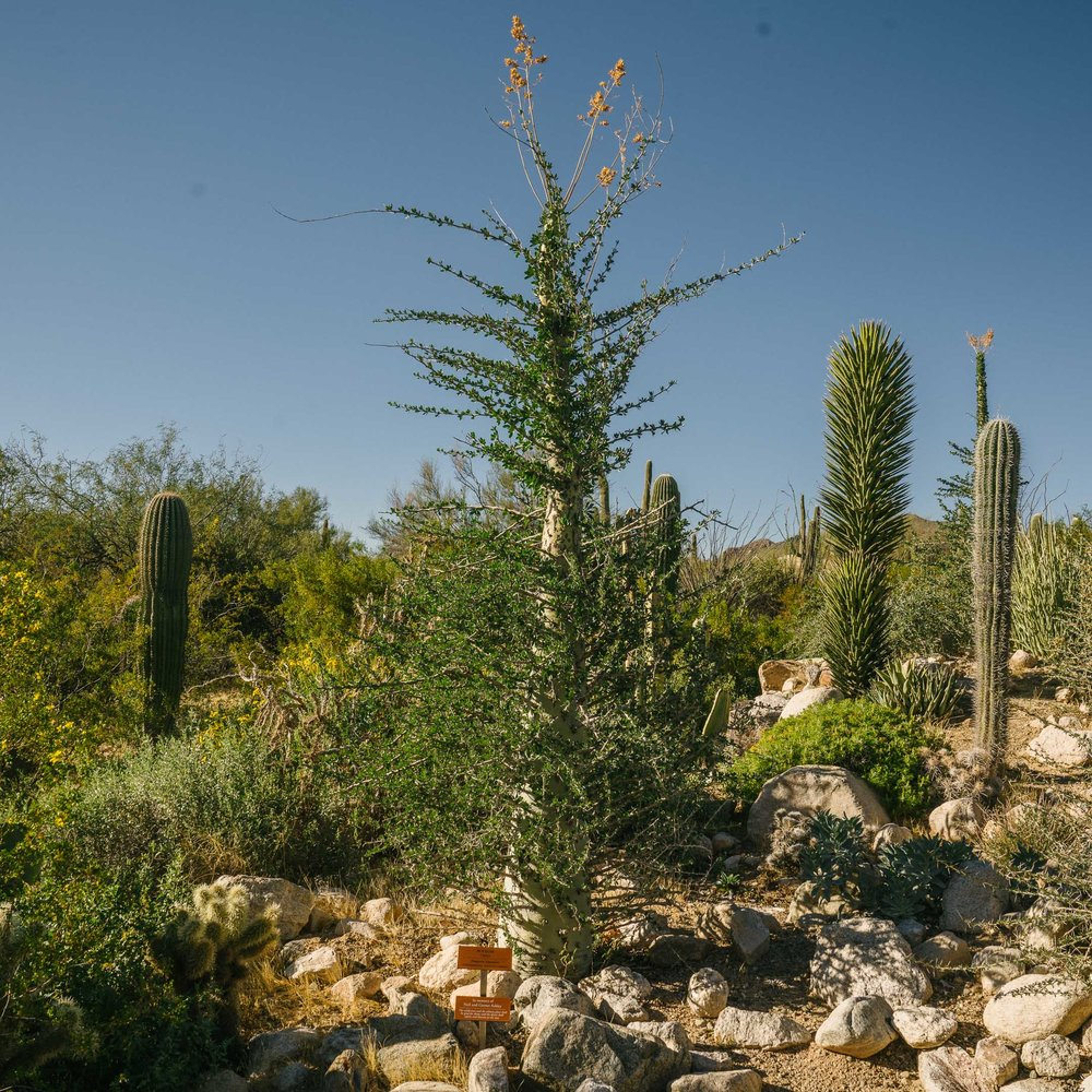 This is called a Boojum tree, which is my favorite tree name I've ever heard.