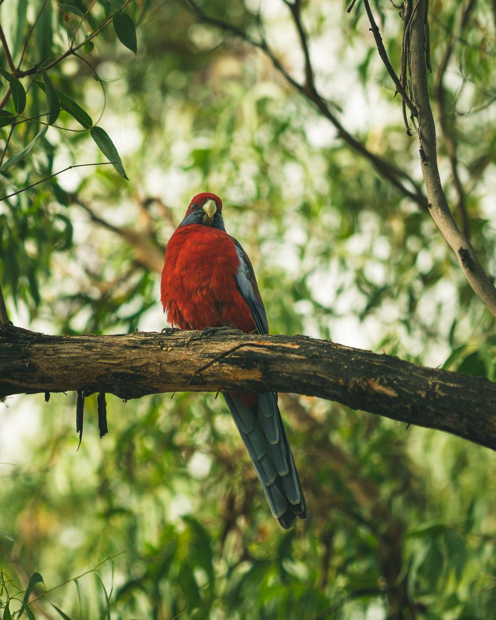 Raymond Island has pretty birds, too!