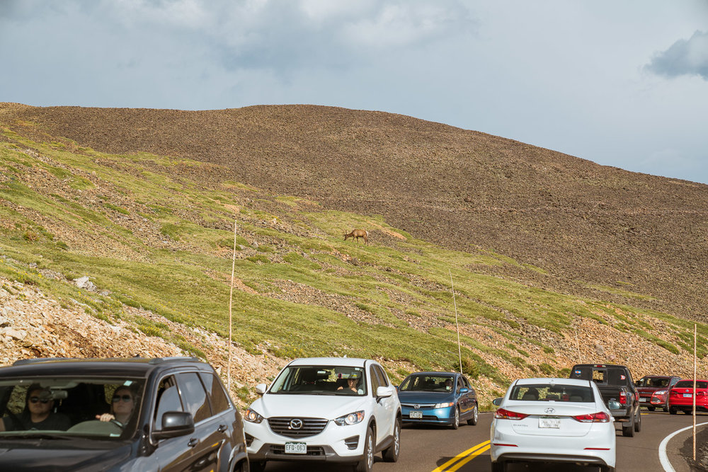 Elk-caused traffic jam.