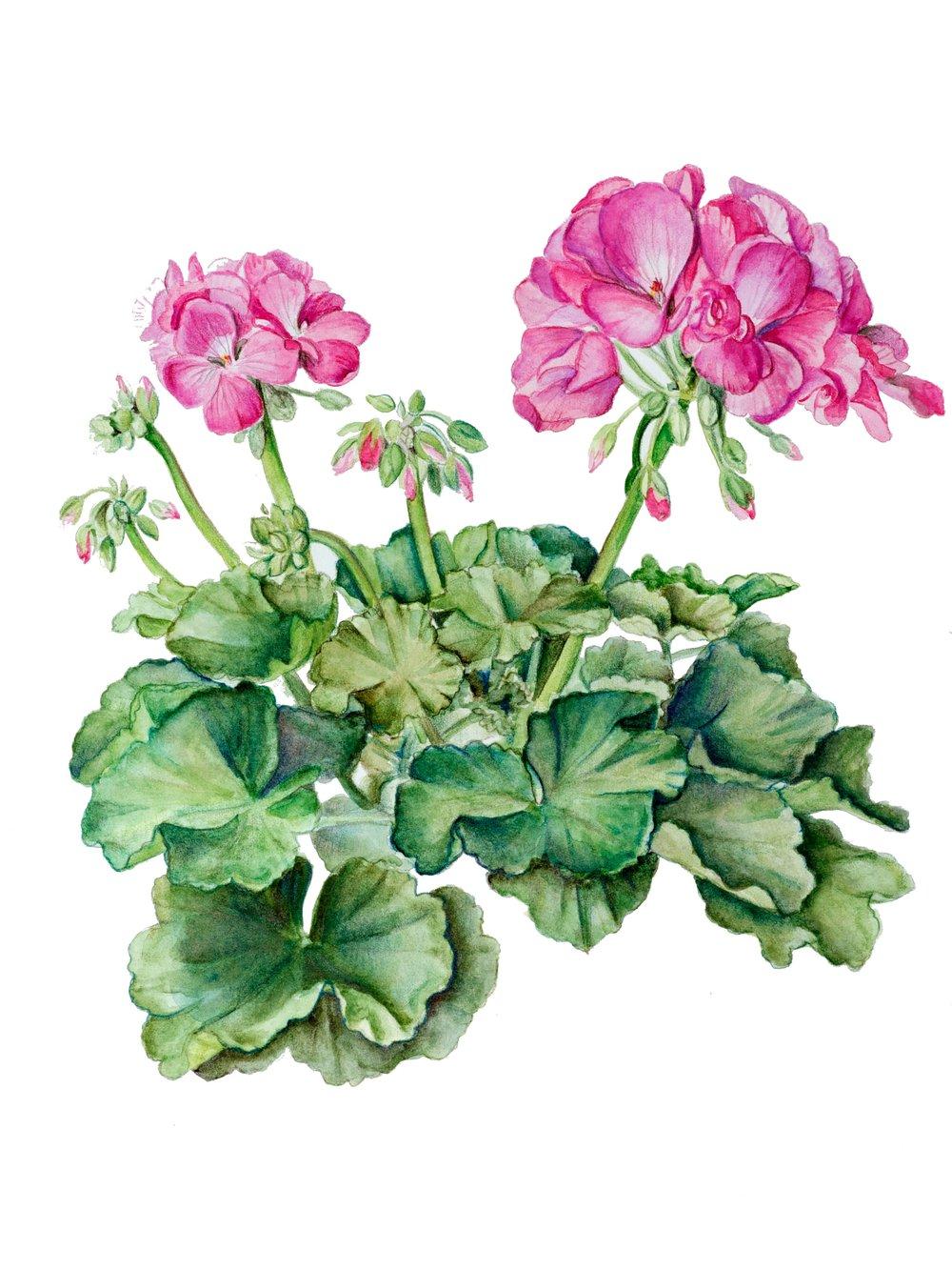 geranium_fullSize.jpg