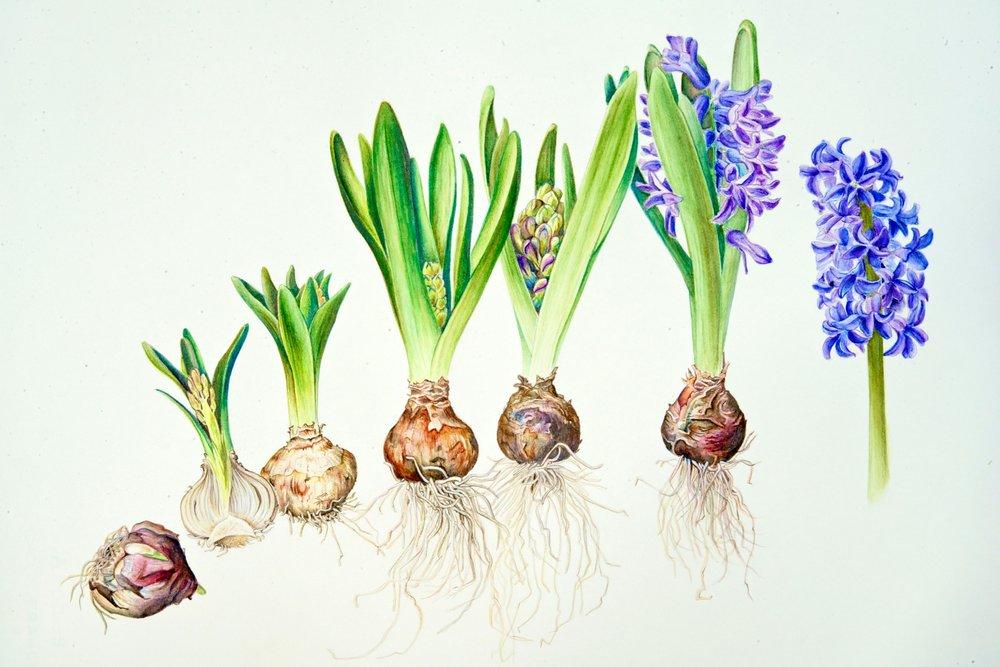 hyacinth_fullSize.jpg