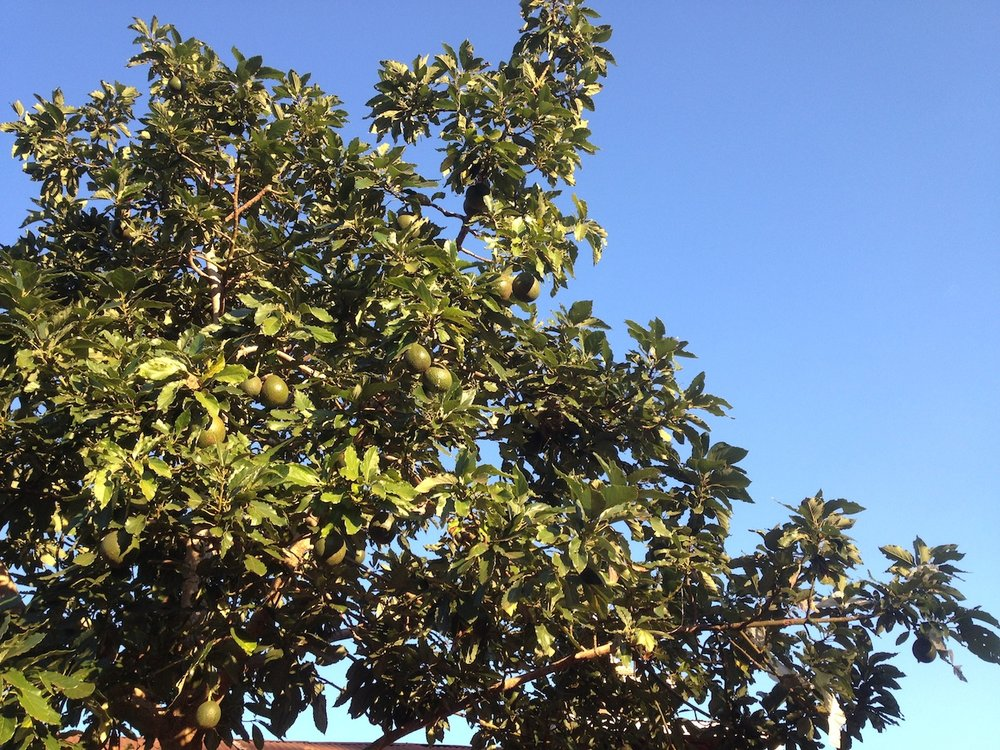 myanmar_kalaw-advocado-trees.jpg