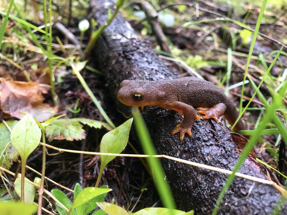 Salamander, Crale Creek OR