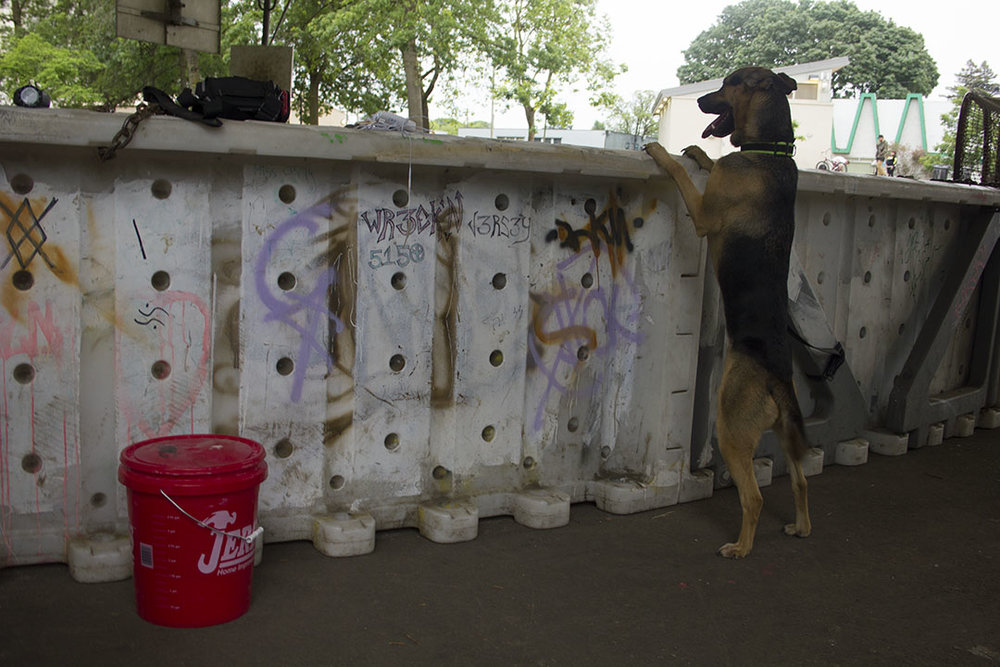 Loki, Isaac Saeidi's year-old German Shepherd, stands next to the team bucket of chalk at WJ Skatepark.