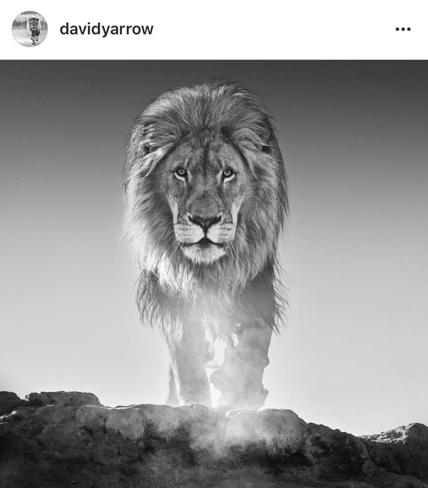 David Yarrow Lion