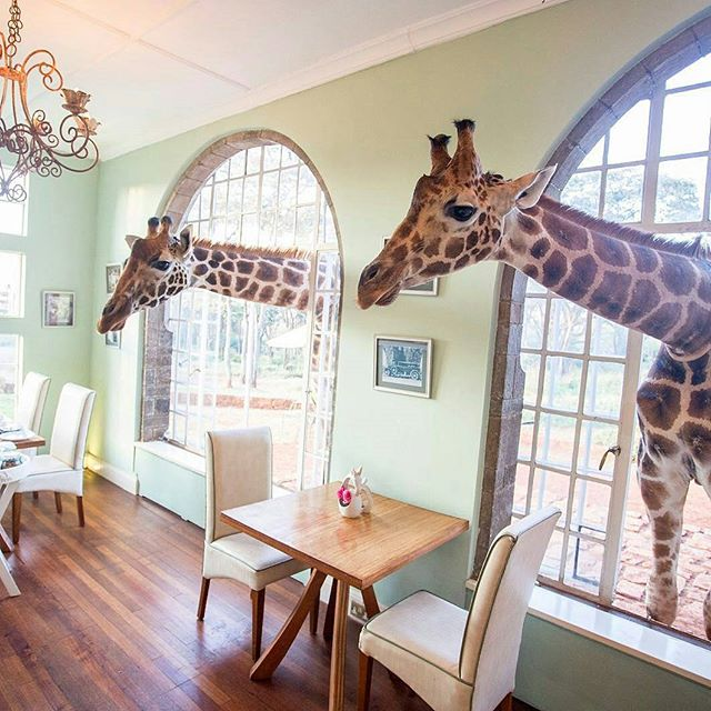 Space for visitors #makespace #wocospace #wocoliving #kenya #africa  @suitcasemag:  Fancy sharing a meal with a giraffe? You might not have a choice in the matter at #GiraffeManor 😂 Plan your trip to Nairobi, including a stay here, with our city guide, online now. #