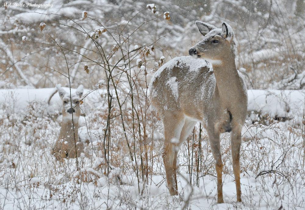 deer snow 005.jpg