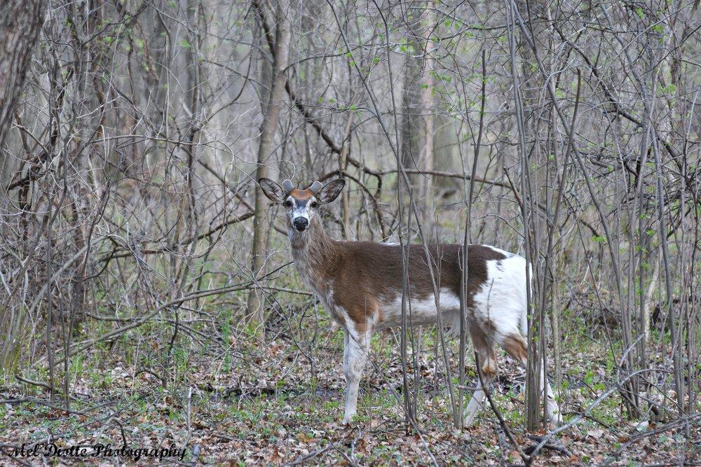 piebald deer d7200dsigned.jpg
