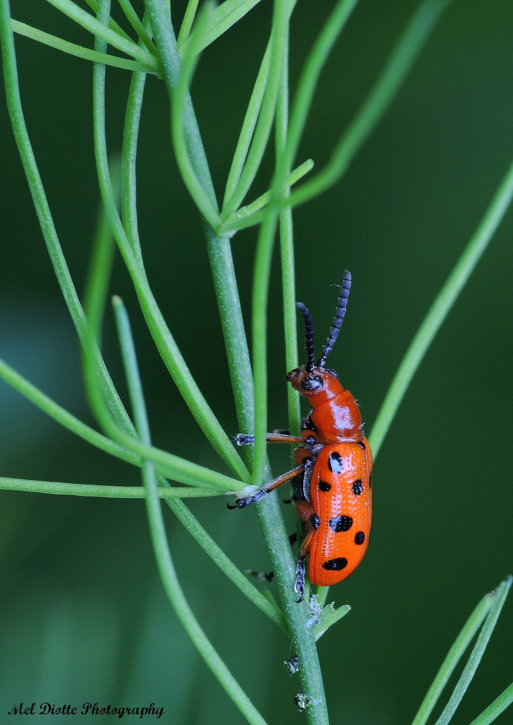 asparagus beetle june 11 2015signed.jpg