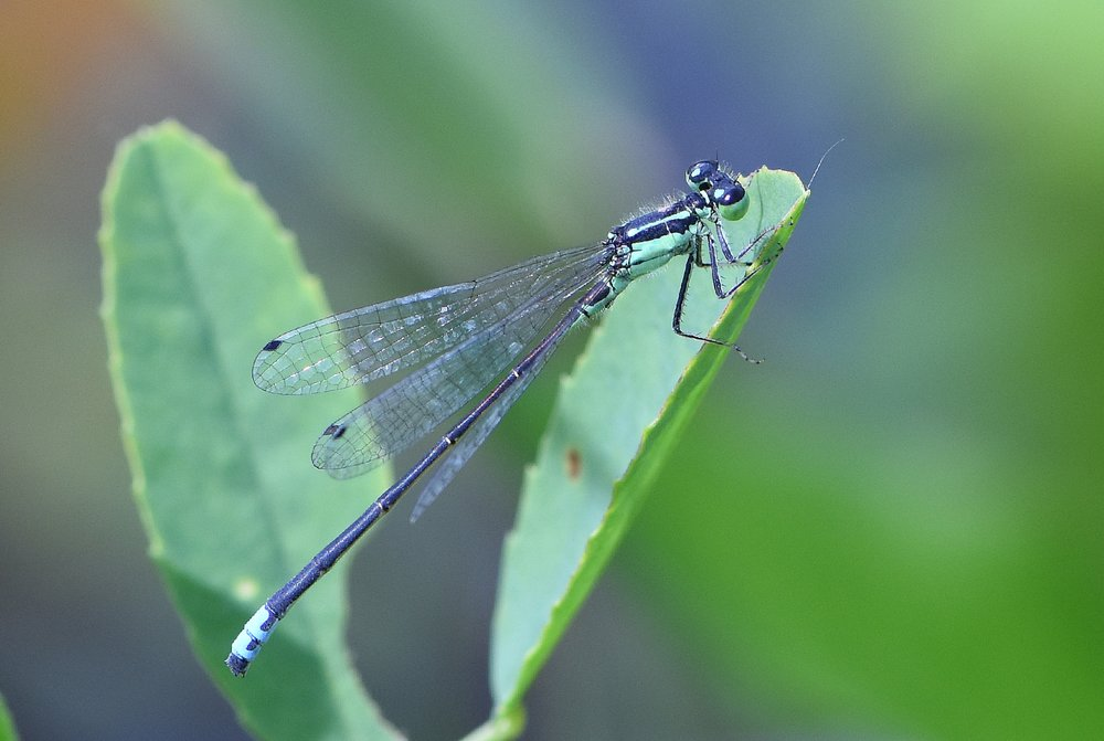 dragon fly july 19 2015greenb.jpg