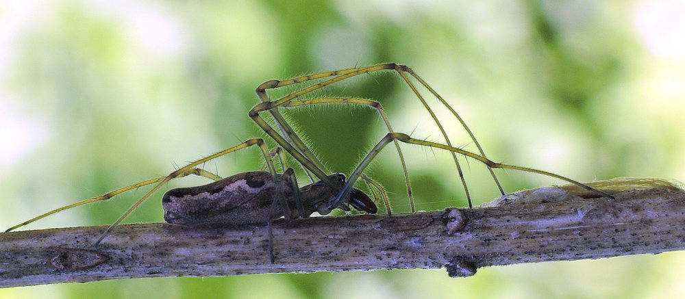 spider2 long-jawed orb weaver.jpg