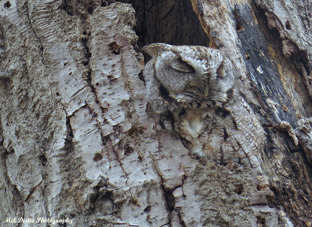 Eastern screech owl april 6 2015e.jpg