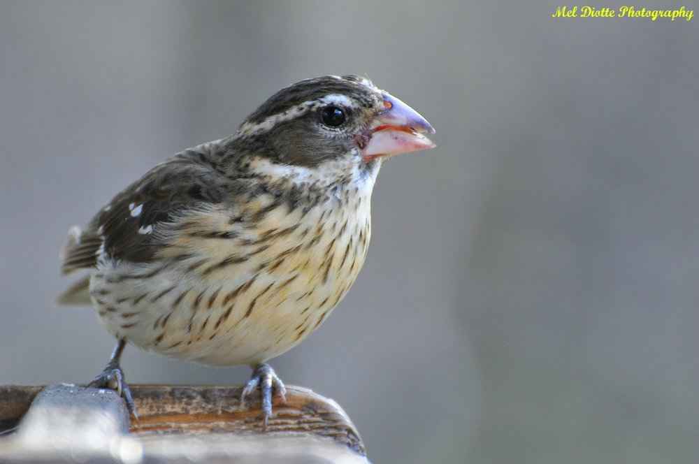 grosbeak.jpg