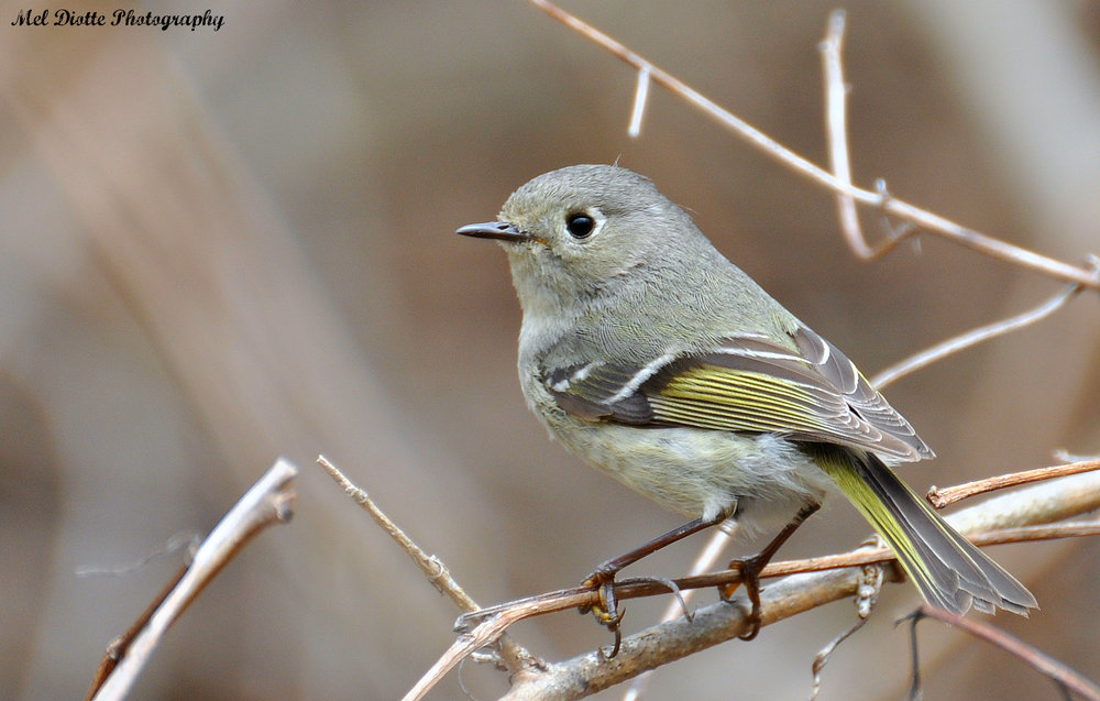 Ruby-crowned Kinglet.jpg