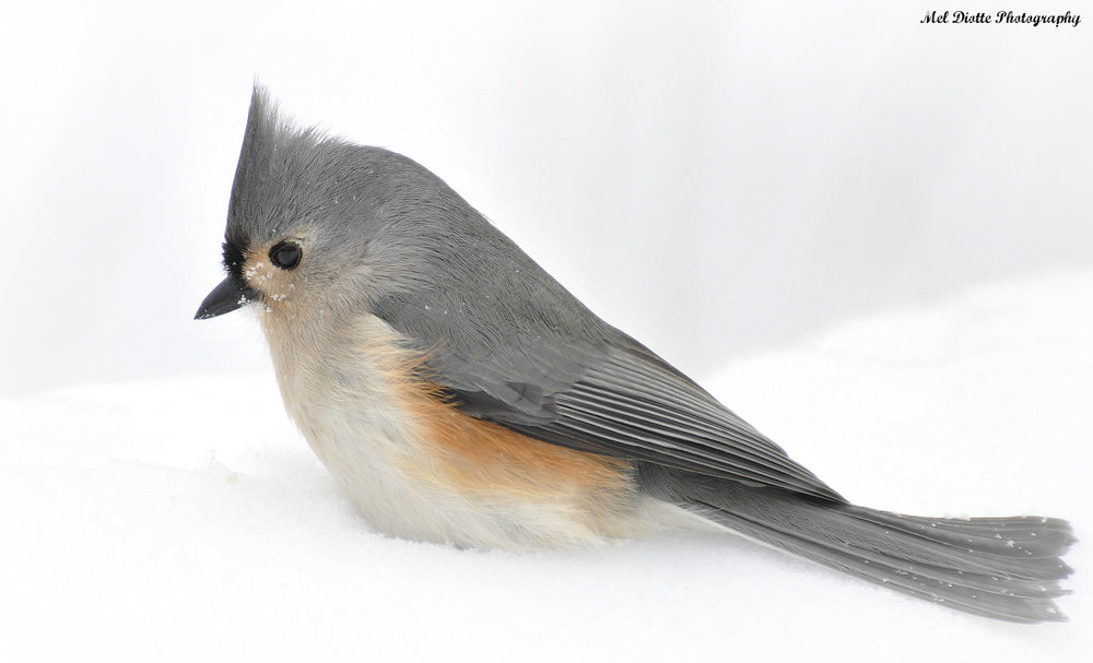 titmouse standing in snow.jpg