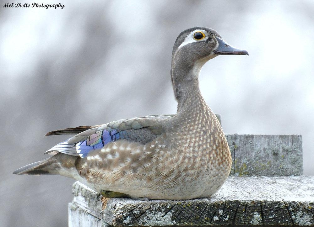 wood duck 101.jpg