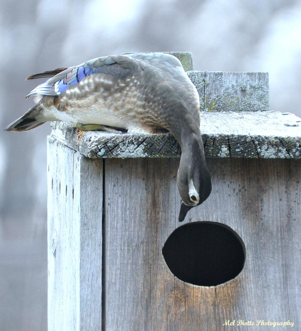 wood duck 105.jpg