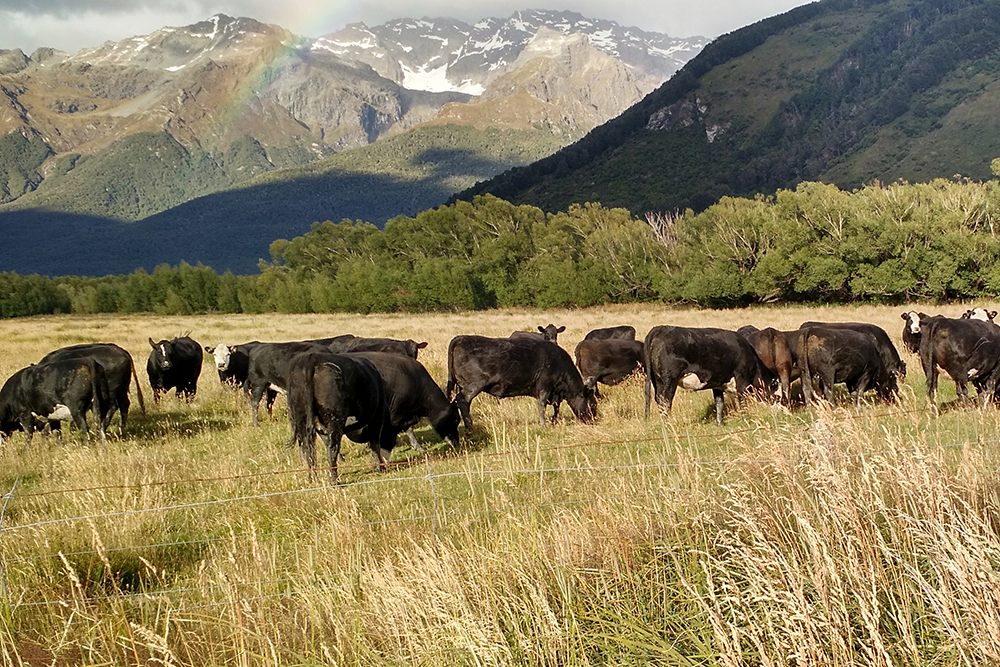 New Zealand New Zealand shares many of the climate and terrain features that make California ideal for raising cattle, but, because it's in the other hemisphere, with animals maturing at the opposite time of the year. This is an integral part of our vision for a sustainable, year-round meat industry. Following the global grass seasons eliminates the need for regular feed shipments, which reduces the cost and impact on the environment. Raising cattle in these seasonally diverse regions allows us to provide customers with beef from mature, grass-fattened cattle —best-in-season—throughout the year.