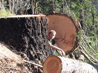 There is no scientific justification for logging trees this large. This timber sale was cut October 2008 on the Rogue River/Siskiyou National Forest.