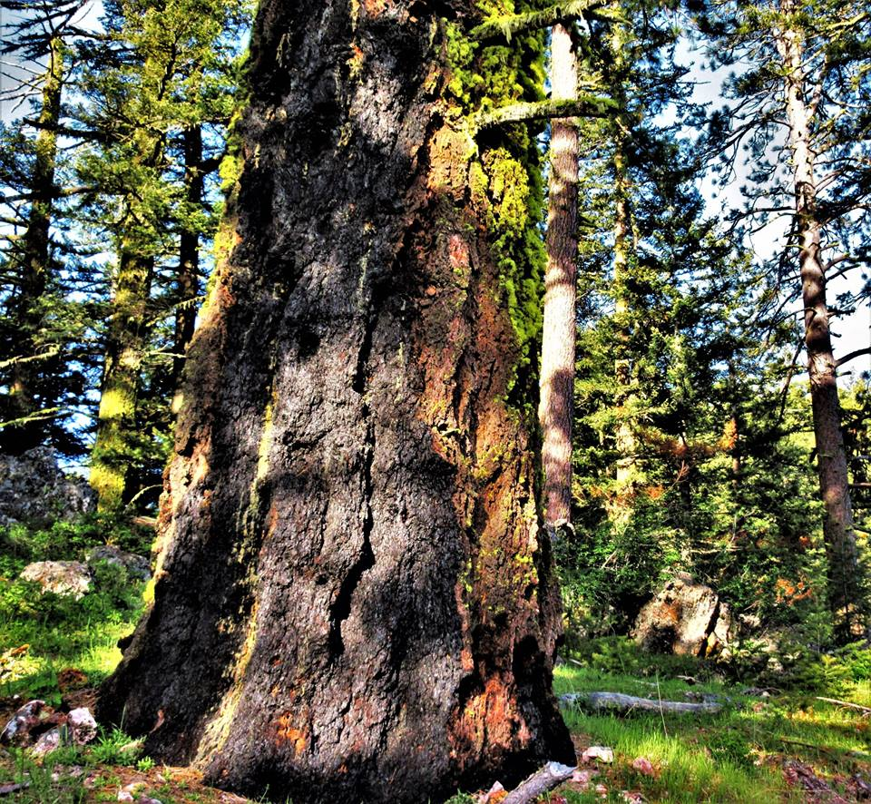 A fire scar on a legacy tree in the Cascade-Siskiyou National Monument   photo by Diane Newell-Meyer