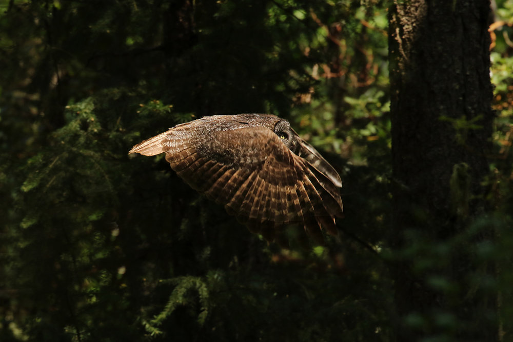 Great Gray Owl Photo by Dan Elster see more