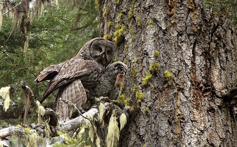 Great Grey Owl courtesy of Elster Photography
