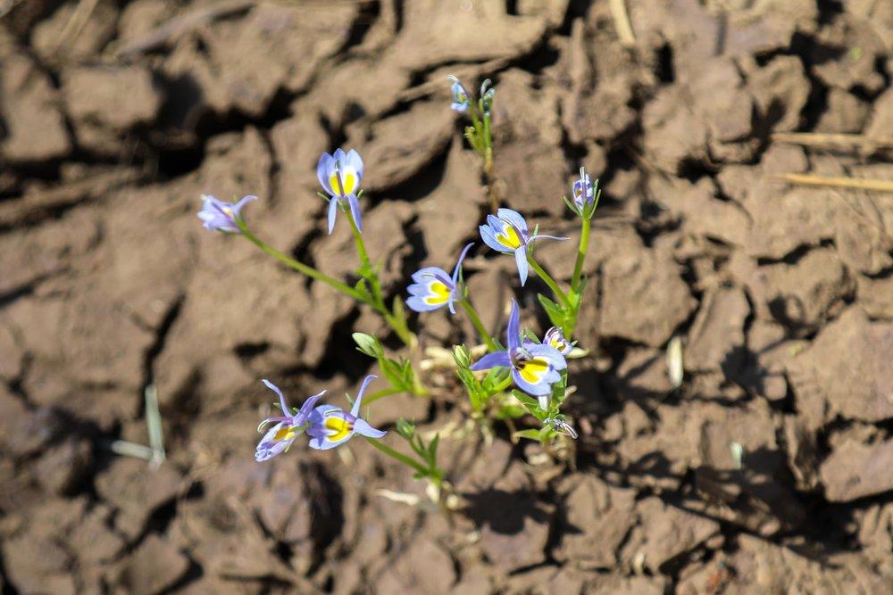 Bach Downingia-Calico Flower, David Christian Photo