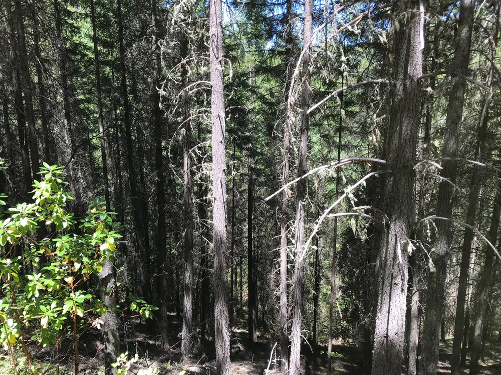 A typical plantation forest in the Upper Applegate Project where KS Wild would like to see more thinning.