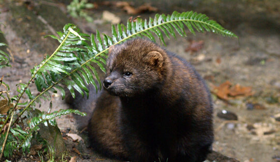 We are the voice for the voiceless - like the Pacific fisher.