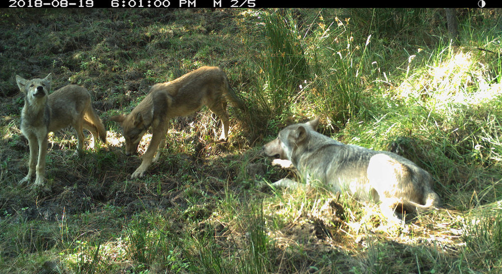 oregon and california wolves