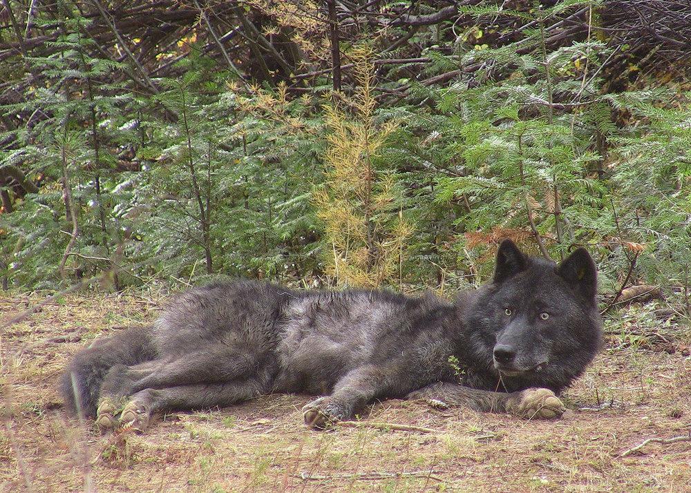 wolves endangered california