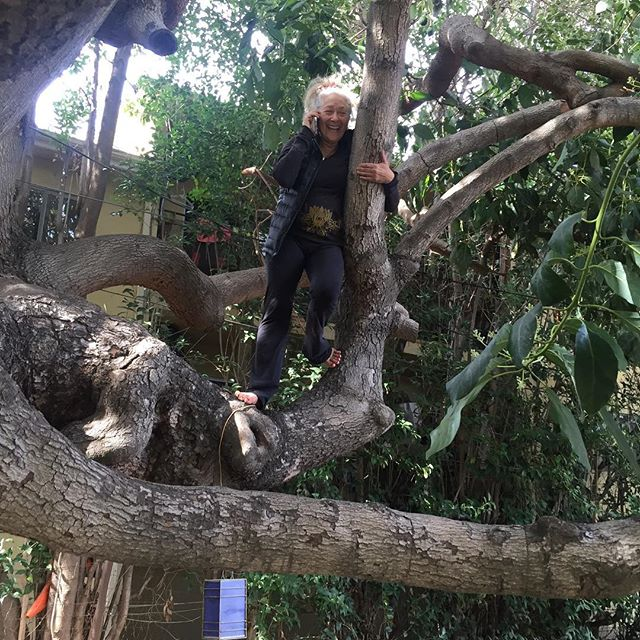 Picking avos in West LA from a beautiful, giant old tree.
