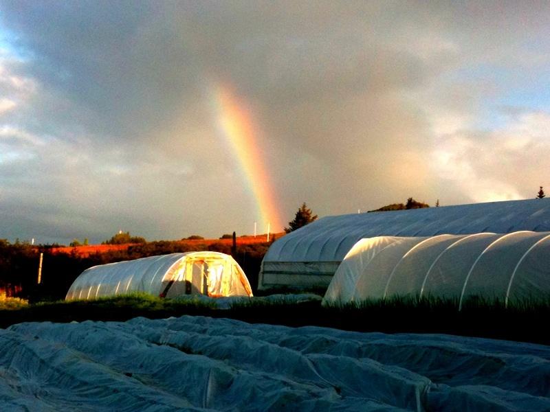 Rainbow over high tunnel.jpg