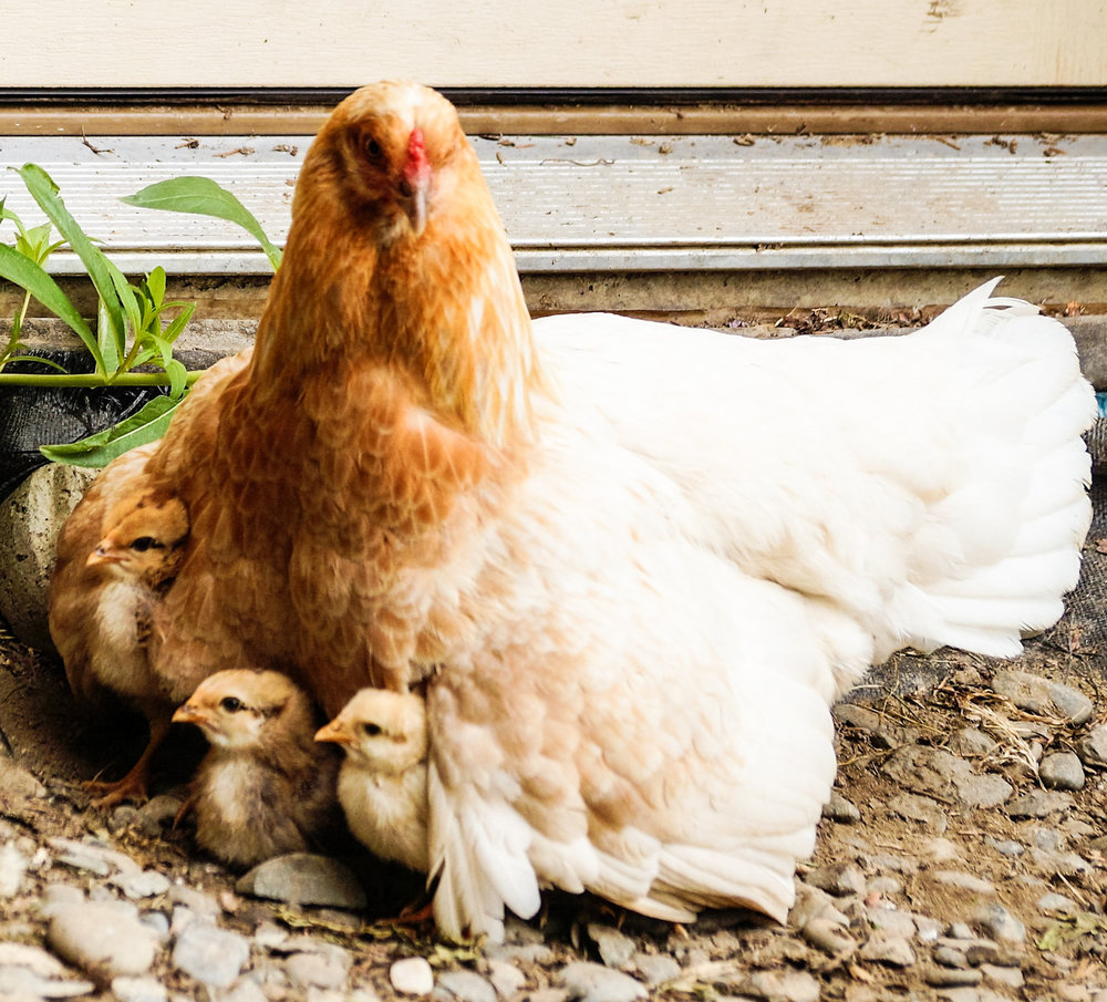 pearl 3 chicks (1 of 1).jpg