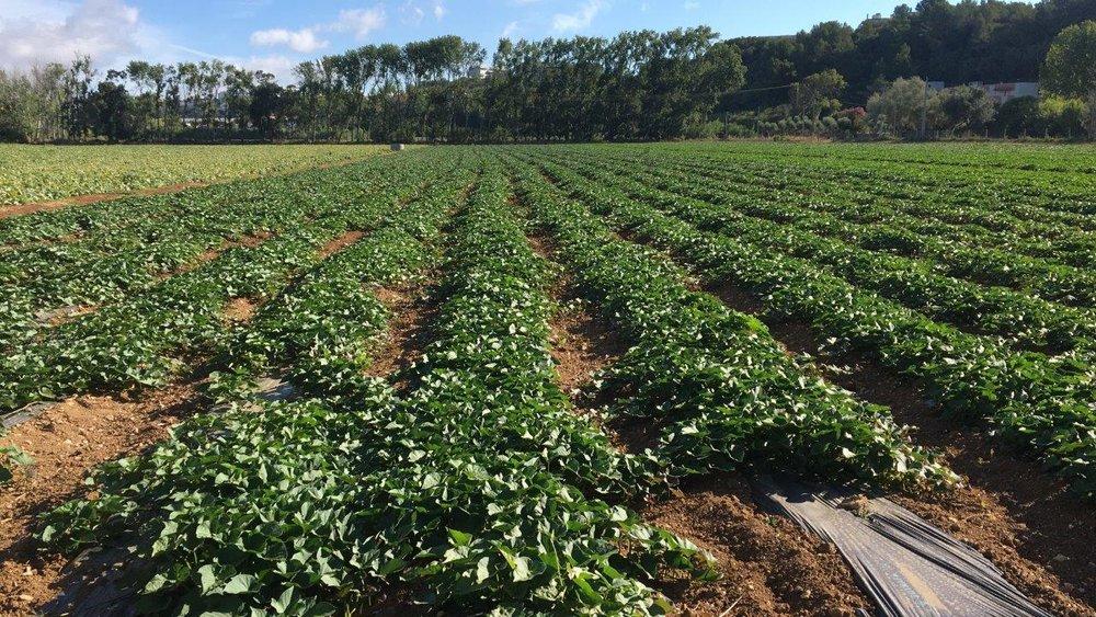 08 Agosto17 - Batata Doce - 3 variedades b (6).JPG