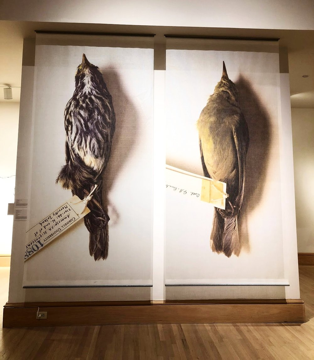 Elisabeth Pellathy's  Dusky Seaside Sparrow and Bachman's Warbier,  digital print on fabric